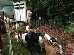 goats arrive1.1